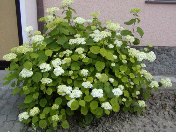Hydrangea arborescens - Smooth Hydrangea
