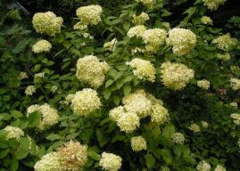 Hydrangea paniculata – Panicled Hydrangea