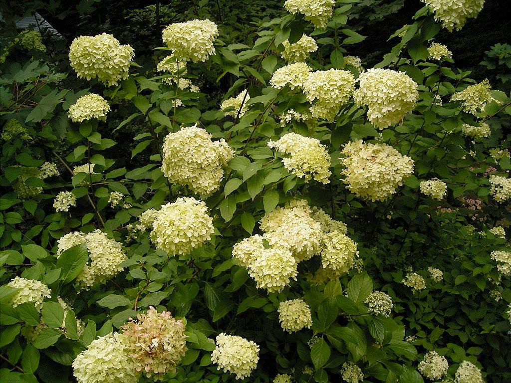Hydrangea Paniculata Panicled Hydrangea World Of