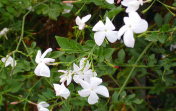 Jasminum officinale - Common Jasmine
