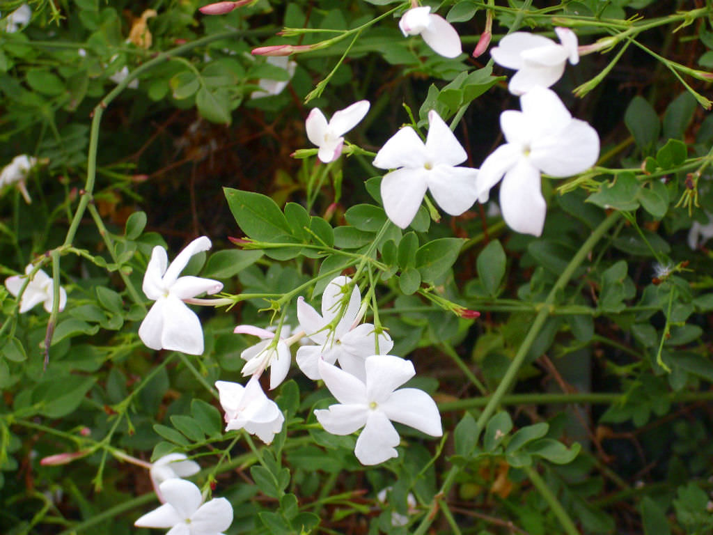 Jasminum Officinale Common Jasmine World Of Flowering Plants