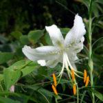 Lilium speciosum var. album - Japanese Lily