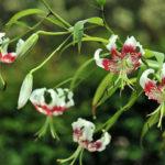 Lilium speciosum var. gloriosoides - Showy Lily