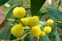 Acacia pycnantha - Golden Wattle