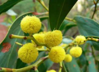 Acacia pycnantha - Golden Wattle