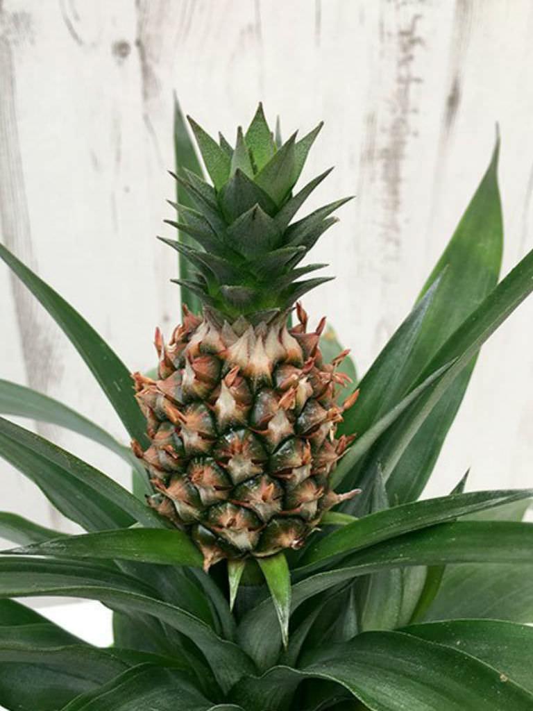 Ananas Comosus Champaca Ornamental Pineapple World Of