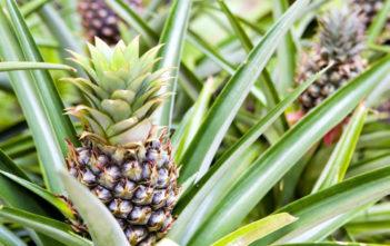 Ananas comosus 'Champaca' - Ornamental Pineapple