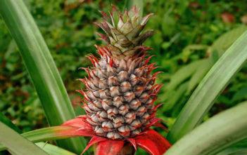 Ananas comosus - Pineapple