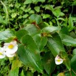 Begonia cucullata - Wax Begonia