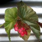 Begonia x corallina - Angel Wing Begonia