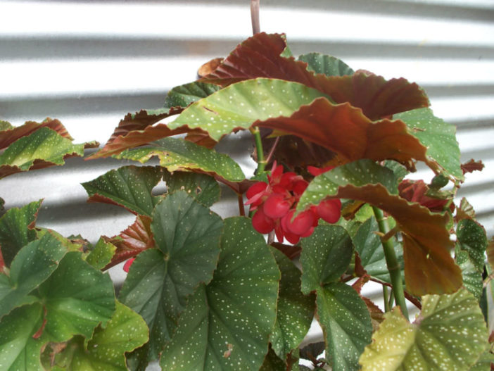 Begonia x corallina - Angel Wing Begonia | World of ...