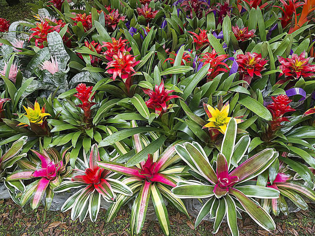 how to grow and care for bromeliads world of flowering plants. Black Bedroom Furniture Sets. Home Design Ideas