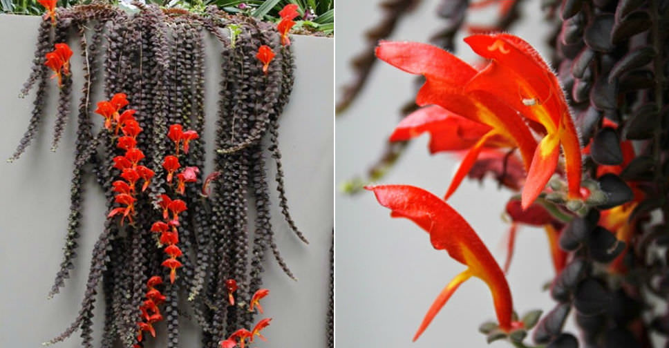 Columnea gloriosa (Goldfish Plant) | World of Flowering Plants
