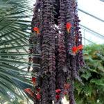 Columnea gloriosa - Goldfish Plant