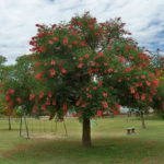 Erythrina crista-galli - Cockspur Coral Tree