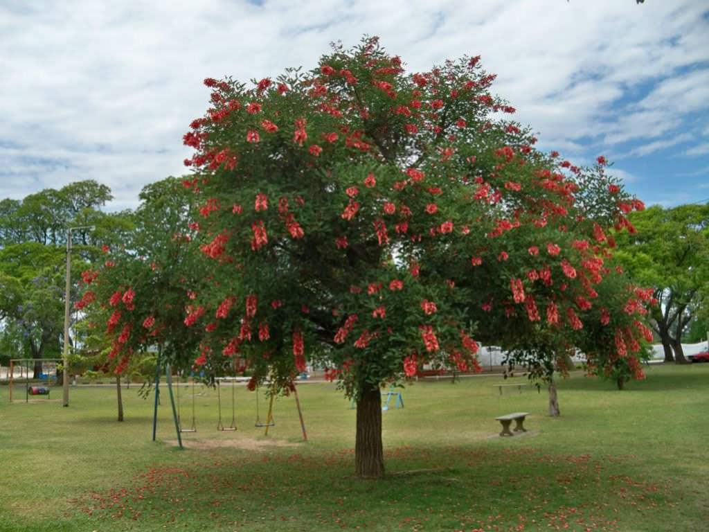erythrina crista galli cockspur coral tree world of flowering plants. Black Bedroom Furniture Sets. Home Design Ideas