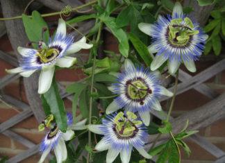 Germinate Passiflora (Passiflora caerulea)