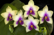 Getting Moth Orchids to Bloom Again