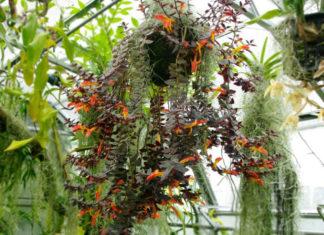 Goldfish Plant (Columnea gloriosa)