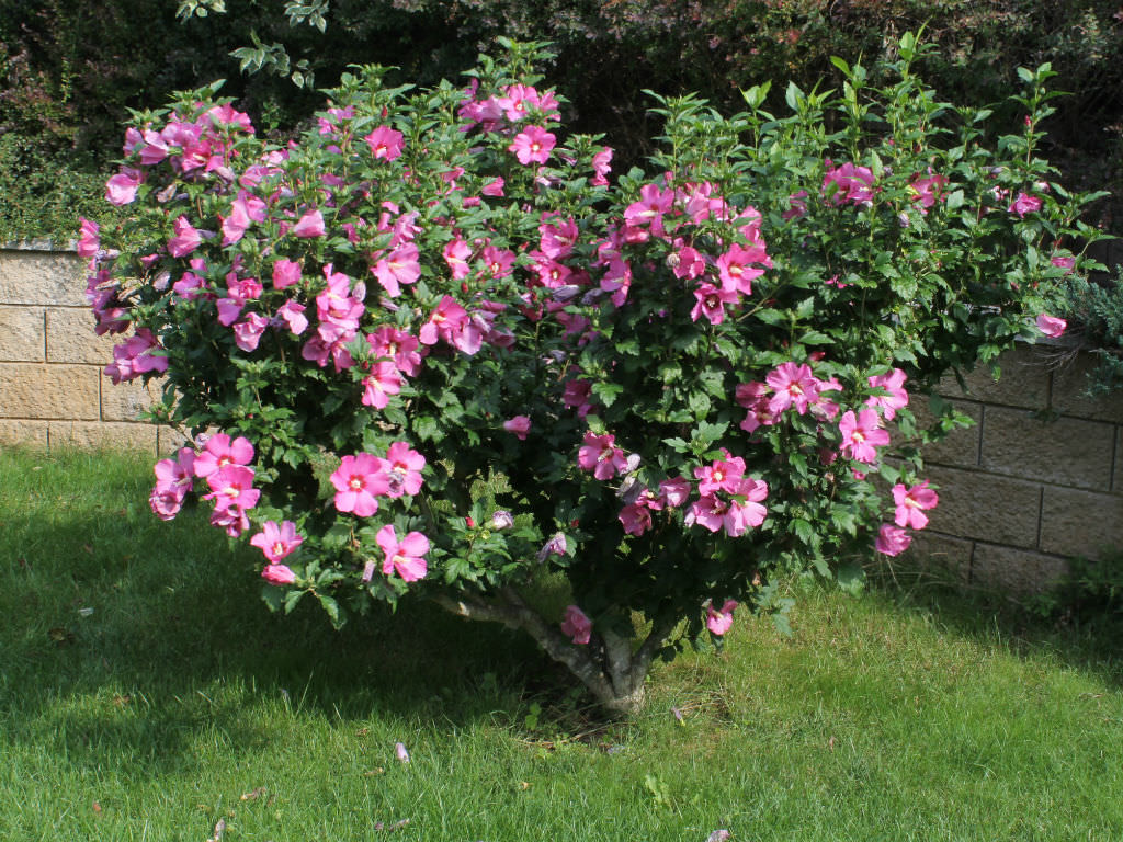 Hibiscus Syriacus Rose Of Sharon World Of Flowering Plants