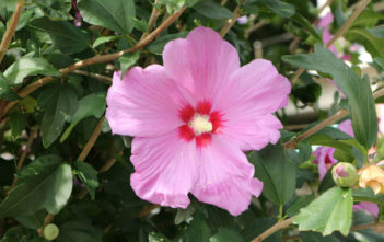 Hibiscus syriacus - Rose of Sharon