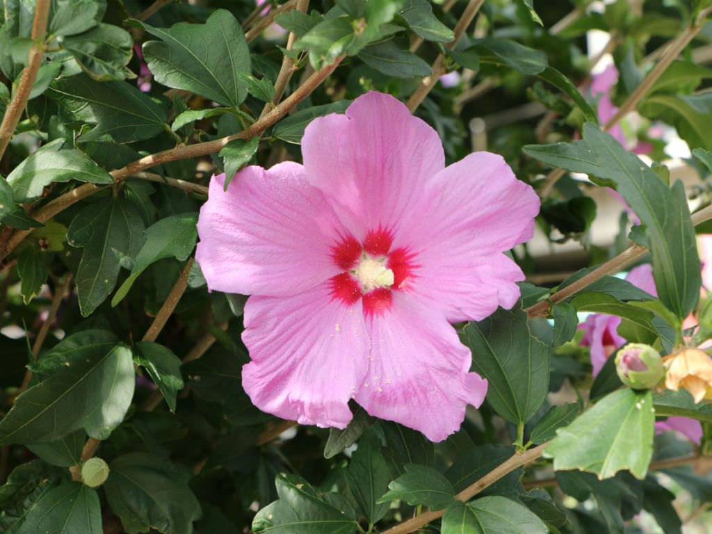Hibiscus syriacus rose of sharon world of flowering plants izmirmasajfo
