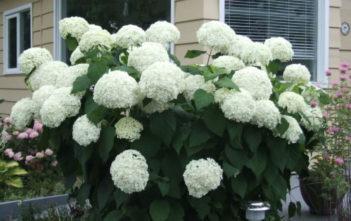 Hydrangea arborescens 'Annabelle' - Smooth Hydrangea