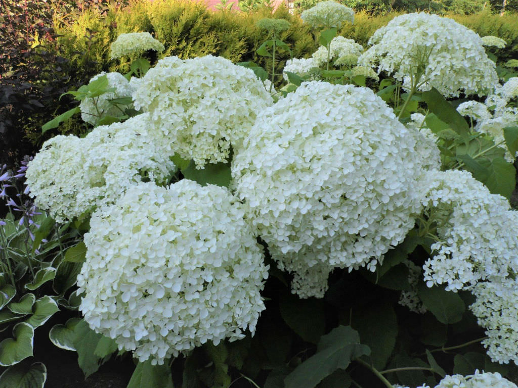 hydrangea arborescens 39 annabelle 39 smooth hydrangea world of flowering plants. Black Bedroom Furniture Sets. Home Design Ideas