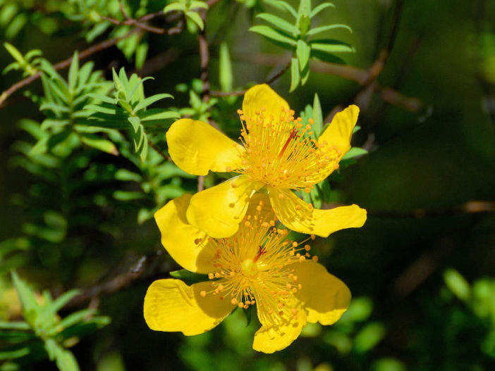 Hypericum revolutum - Curry Bush