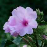 Ipomoea carnea - Bush Morning Glory