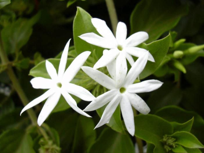 Jasminum multiflorum - Star Jasmine