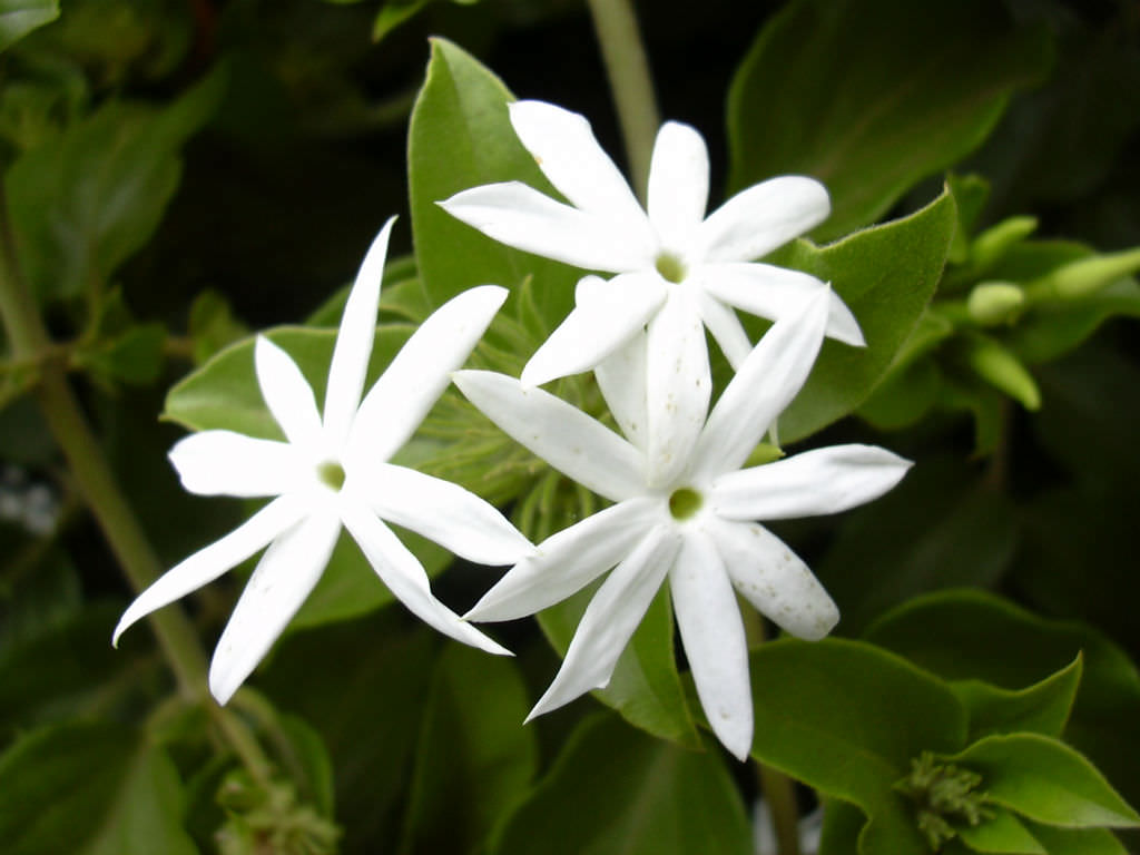 Jasminum Multiflorum Star Jasmine World Of Flowering Plants