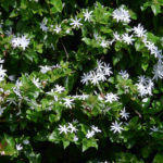 Jasminum multiflorum - Star Jasmine