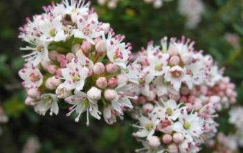 Kalmia buxifolia - Sand Myrtle