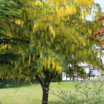 Laburnum x watereri - Golden Chain Tree