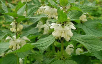 Lamium album - White Dead Nettle
