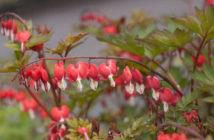 Lamprocapnos spectabilis 'Valentine' - Bleeding Heart