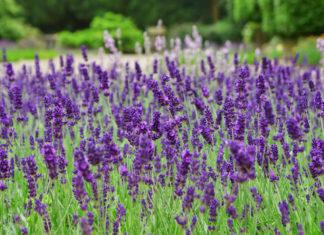 Lavandula latifolia - Spike Lavender