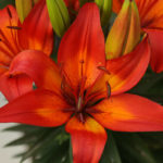 Lilium 'Matrix' - Matrix Asiatic Lily