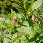 Lonicera alpigena - Alpine Honeysuckle