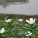 Ludwigia adscendens - Water Primrose
