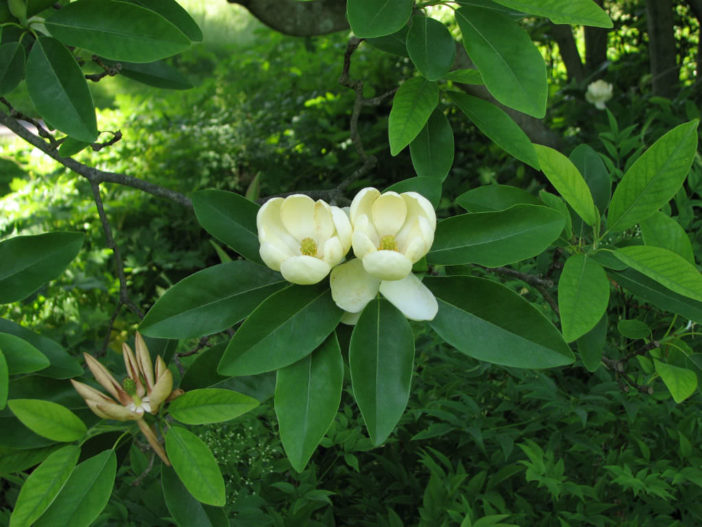 Magnolia virginiana - Sweet Bay Magnolia