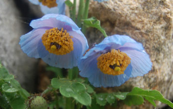 Meconopsis aculeata - Blue Poppy