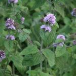 Mentha arvensis - Wild Mint