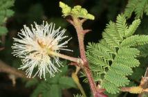 Mimosa aculeaticarpa (Catclaw Mimosa)