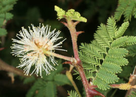 Mimosa aculeaticarpa – Catclaw Mimosa