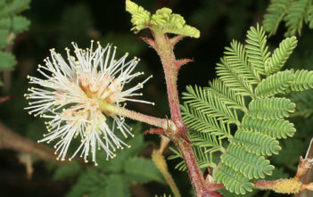 Mimosa aculeaticarpa - Catclaw Mimosa