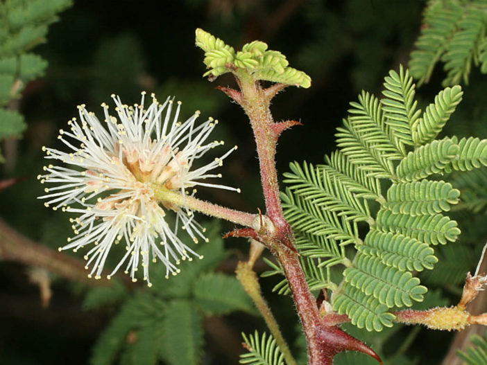 Mimosa aculeaticarpa (Catclaw Mimosa)