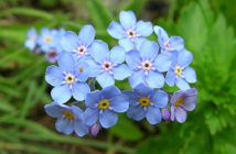Myosotis alpestris (Alpine Forget-me-not)