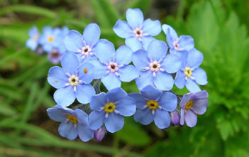 Myosotis alpestris - Alpine Forget-me-not
